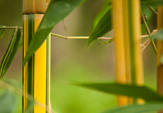 Bamboo. Natural growing bamboo in tropical forest in Bali in Indonesia Stock Images
