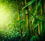 Bamboo. Asian Bamboo forest with morning sunlight Royalty Free Stock Image