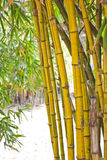 Bamboo. Yellow bamboo is ready to be used royalty free stock photography