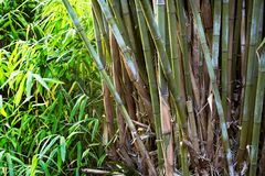 Bamboo. Stalks and leaves in forest Royalty Free Stock Images