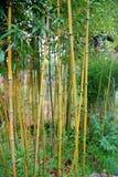 Bamboo. Yellow bamboo in a garden Stock Photo