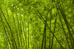 Bamboo. Photo of green bamboo forest royalty free stock photos