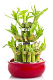 Bamboo. A lucky bamboo plant on a white background stock photos