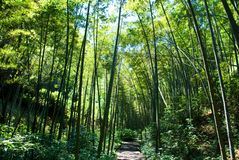 Bamboo. Very quiet in the bamboo forest Royalty Free Stock Photography