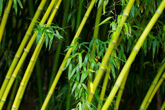 Bamboo. A texture shot of sloping bamboo trees Stock Photography
