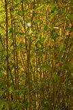 Bamboo. Full frame of green vertical bamboo shoots Royalty Free Stock Photos