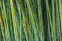 Green bamboo stalks