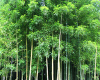 Bamboo. Green Bamboo Forest background texture Royalty Free Stock Photography