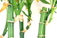 Bamboo. Green wet bamboo isolated on the white Royalty Free Stock Photo