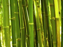 Bamboo. Trees Stock Image