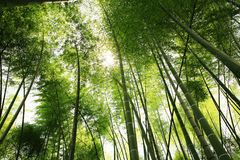 Bamboo. Sunlight through green bamboo forest Stock Photos