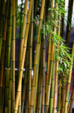 Bamboo. The bamboo in the temple Stock Photo
