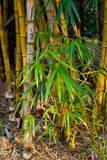 Bamboo. Close up of bamboo tree leaves in the forest Stock Photo
