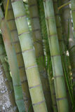 Bamboo. Tree jungle forest nature green wild Stock Photography