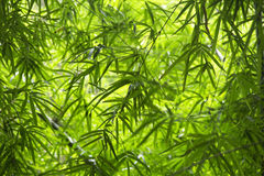 иллюстрация предпосылки bamboo выходит вектор Стоковое Изображение
