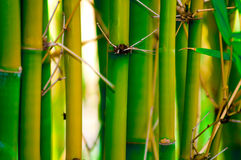 Bamboo. Captured in late afternoon Royalty Free Stock Photos