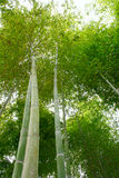 Bamboo. Green bamboo forest in China Stock Photography