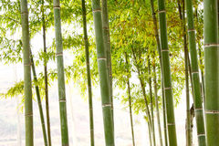 Bamboo. Green bamboo forest in China Royalty Free Stock Photos