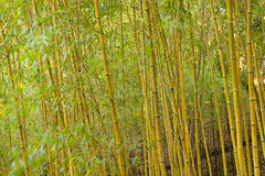 Bamboo. Trees royalty free stock photography