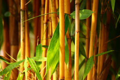 Bamboo. Forest at my home town Royalty Free Stock Image