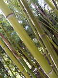 Bamboo. Stalks Stock Images