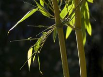 Bamboo. Yellow bamboo leaves and stems royalty free stock photos