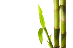 Bamboo. Green bamboo isolated on white Royalty Free Stock Image