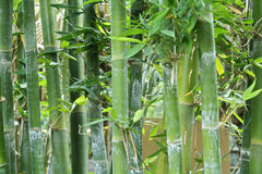 Bamboo Royalty Free Stock Photos