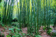 Bamboo. Is also known as . There are many varieties, such as  and . Perennial grasses,  subfamily, stem from wood, is a branch of the Gramineae, in tropical and stock photos