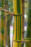 Bamboo. In Antonio Borges Gadern, , Ponta Delgada, Sao Miguel, Azores, Portugal Royalty Free Stock Photo