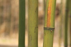 Bamboo in Autumn Royalty Free Stock Image