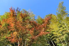 Bamboo and autumn foliage. Autumn leaves and green bamboo grove in Japan - red momiji leaves (maple tree) in Kamakura park Stock Photo