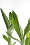 Bamboo background. Bamboo leaf background over white Stock Images