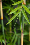 Bamboo Background. Bamboo, with focus on front leaves.  Blurred background Royalty Free Stock Photography