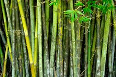 Bamboo background. Natural backgrounds: The Chinese Bamboo Stock Image