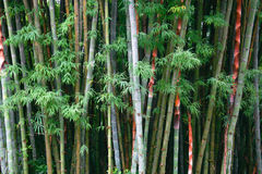 Bamboo is background Royalty Free Stock Images