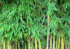 Bamboo background. Showing a lot of leaves royalty free stock images
