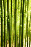 Bamboo Background. Stalks of green bamboo growing in a forest Stock Image