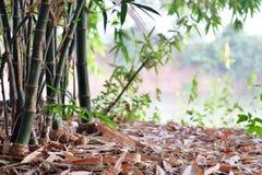 ฺBamboo. Bamboo garden near the river Stock Image