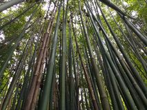 Bamboo. Hainan forest beautiful sunny stock image