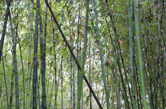 Bamboo, bamboo leaves Royalty Free Stock Images