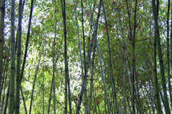 Bamboo, bamboo leaves Royalty Free Stock Photos