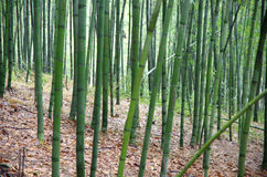 Bamboo, bamboo leaves Stock Photos