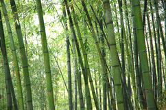 Bamboo, bamboo leaves Royalty Free Stock Photo