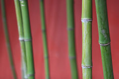 Bamboo, bamboo, tree trunks, plants. Green bamboo trunk under the red background Stock Images