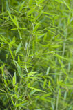 Bamboo, bambusa arundinacea. Bambusa arundinacea, bamboo plant close up stock image