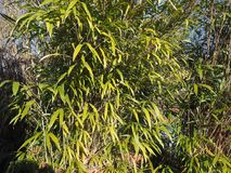 bamboo tree leaves background Stock Images