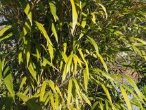 bamboo tree leaves background Royalty Free Stock Photos
