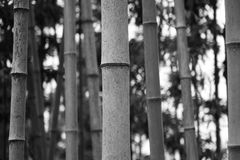 Bamboo in black and white Stock Photography