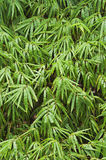 Bamboo  blackground Stock Image